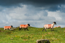 Sheep With Lambs Grazing
