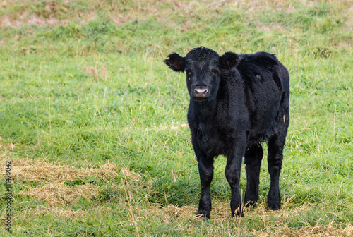 Plakat  isolated black Angus calf standing on grass