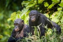 Bonobos In Natural Habitat. Gr...