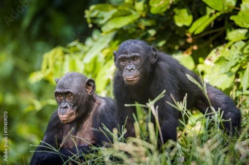 Zdjęcie XXL Bonobos w naturalnym środowisku. Zielony naturalny tło. The Bonobo (Pan paniscus)