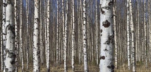 Grove of the White Birch  trees  in spring