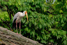Yellow-billed Storke On The Roof