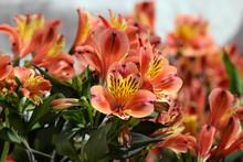 Alstroemeria Peruvian Lily Flo...