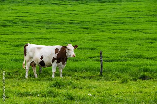 Papiers peints Vache Vache dans pré