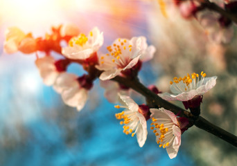 Fototapeta Do biura branch with pink flowers at sunset, close-up. bloom.