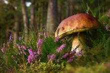 Boletus Edulis Edible Mushroom In The Forest