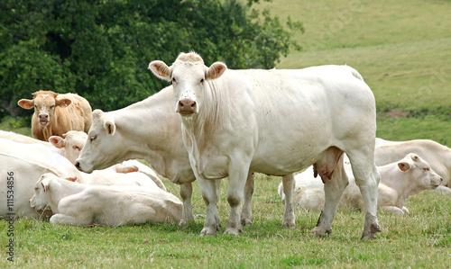 Papiers peints Vache Vaches et veaux charolais