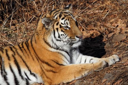 Fototapety, obrazy: тигр Амур