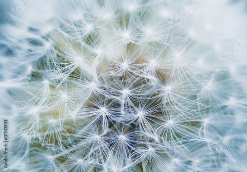 Montage in der Fensternische Lowenzahn fluffy and airy inflorescence of a dandelion closeup