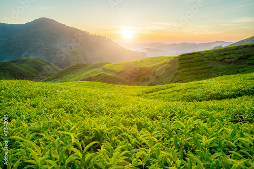 Tea plantation in Cameron highlands, Malaysia Canvas Print