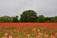 Field Of Indian Paintbrush/Field Of Indian Paintbrush Flowers