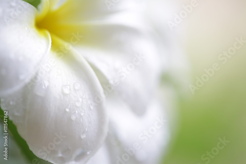 Canvas Prints Plumeria Water drop on frangipani flower