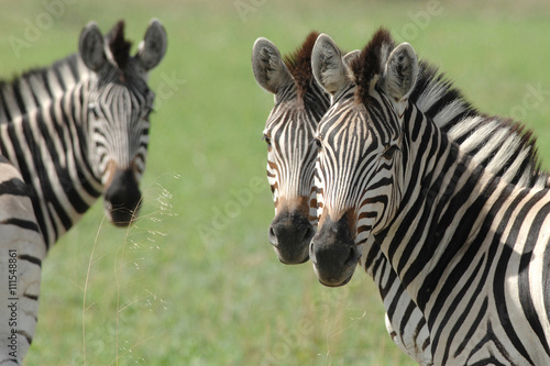 Fotografie, Obraz  Zebra with two heads or optical illusion? looking at camera