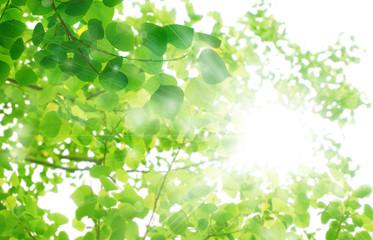 Fototapeta新緑の季節 光の輝き