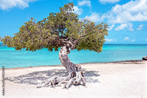 Divi divi tree on Aruba island in the Caribbean Sea фототапет
