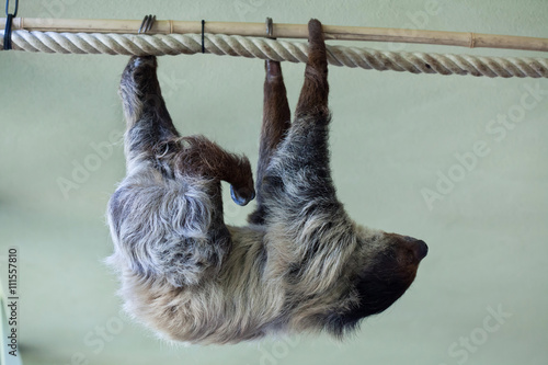 Linnaeus's two-toed sloth (Choloepus didactylus).