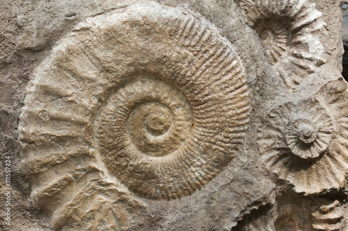 Ammonites from the Cretaceous Period found as fossils.