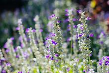 Salvia Flower (salvia Farinacea Benth) In Garden With Blurred Background