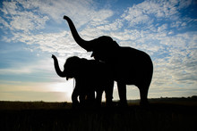 The Silhouette Of Elephants, Two Elephant Playing, Blue Sky Background In Thailand