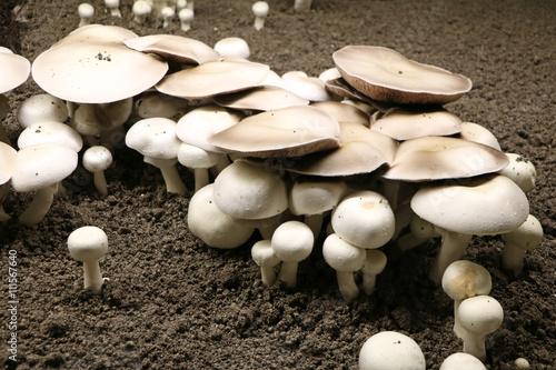 Fotografie, Obraz  Culture du champignon de Paris / champignonnière