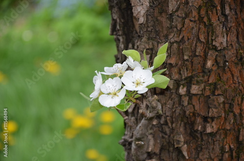 Flowers on the Pear tree