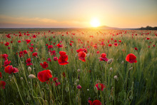 Beautiful Red Poppy Field At The Sunset