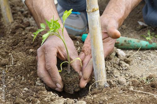 Fotografie, Obraz  Contadino pianta pomodori v un Orto