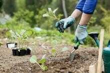 Gardener Planting, Plowing The Broccoli Seedlings In