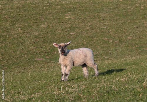 Fotografie, Obraz  Kleines Lamm auf einer Wiese am blöken Bleat little lamb on a meadow