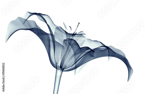 Photo  x-ray image of a flower isolated on white , the lilly