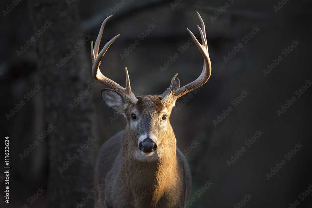 A handsome Whitetail Buck  deer stands in a spotlight of morning sunlight.