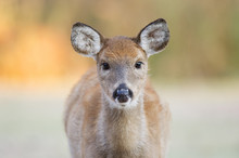 A Yearling Whitetail Deer Fawn...