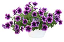 Petunia Pot 5