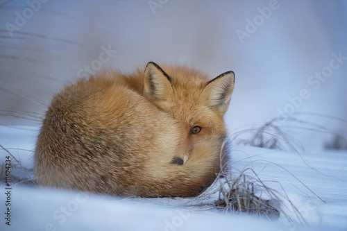 a-red-fox-curled-up-at-dusk-to