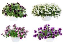 Petunia Pot 6