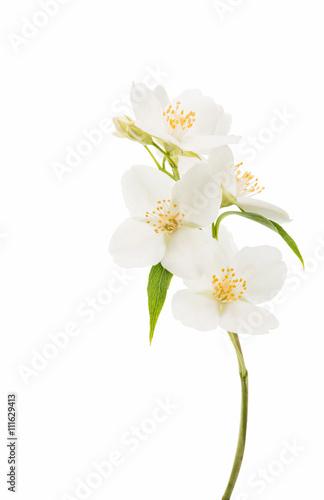 Fotografie, Obraz  jasmine flower isolated