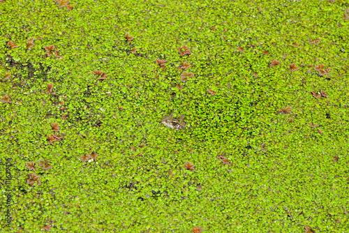 Fotografie, Obraz  Crapaud dans les lentilles d'eau