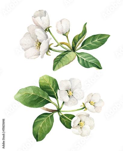 Ilustracje akwarela kwiat jabłoni