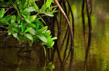 Red Mangroves In Calm Water