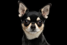 Closeup Portrait Of Gorgeous Chihuahua Dog Looking In Camera On Black Isolated Background