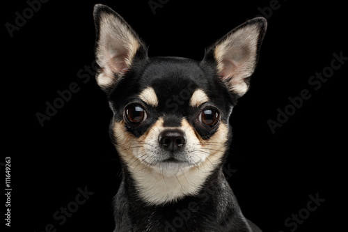 Closeup Portrait of Gorgeous Chihuahua Dog Looking in Camera on Black Isolated B Canvas Print