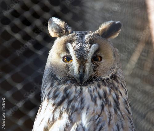 Photo  A long-eared owl (Asio otus)