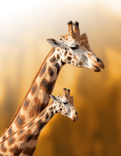 Mother And Baby Giraffe On The...
