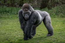 A Silver Back Gorilla Standing And Looking Alert And Menacing Against A Natural Background