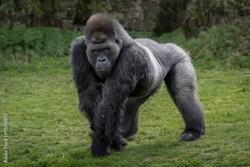Photo  A silver back gorilla standing and looking alert and menacing against a natural