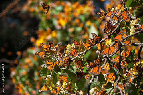 Tuinposter Vlinder Monarch Butterfly Biosphere Reserve, Michoacan (Mexico)