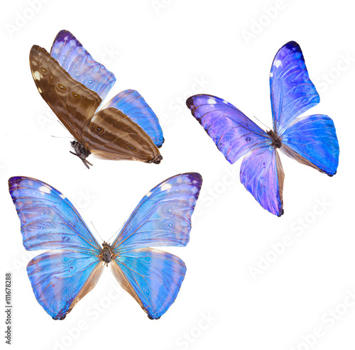 Tablou Canvas morpho adonis blue butterfly