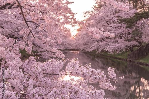 Deurstickers Kersen hirosaki park cherry brossom 弘前公園の桜