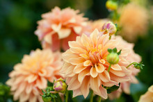 Dahlia Orange Flowers In Garden Full Bloom Closeup