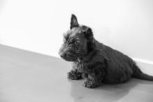 A Scottish Terrier Puppy Sitting Down